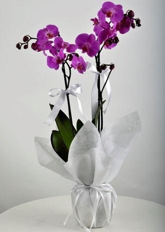 Çift dallı saksıda mor orkide çiçeği  Ardahan çiçek siparişi vermek