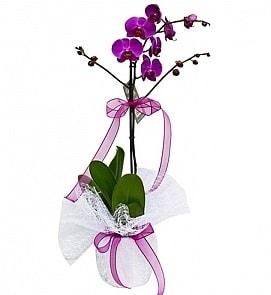 Tek dallı saksıda ithal mor orkide çiçeği  Ardahan çiçekçiler