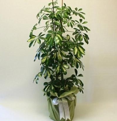 Şeflera salon bitkisi  Ardahan çiçek gönderme