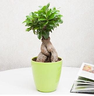 Ficus Ginseng Bonsai  Ardahan 14 şubat sevgililer günü çiçek