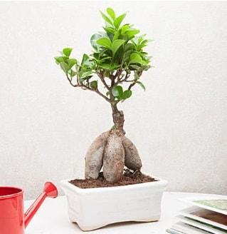 Exotic Ficus Bonsai ginseng  Ardahan çiçek servisi , çiçekçi adresleri