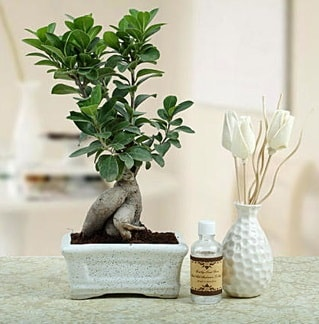 Ginseng ficus bonsai  Ardahan çiçekçiler