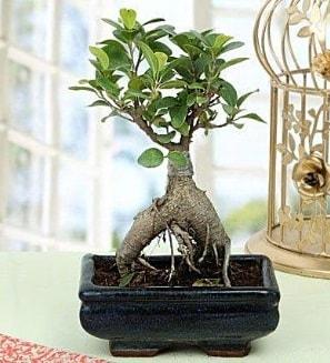 Appealing Ficus Ginseng Bonsai  Ardahan anneler günü çiçek yolla