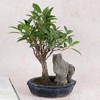 Japon ağacı Evergreen Ficus Bonsai  Ardahan çiçek gönderme sitemiz güvenlidir