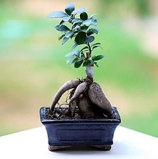 Marvellous Ficus Microcarpa ginseng bonsai  Ardahan çiçek siparişi vermek