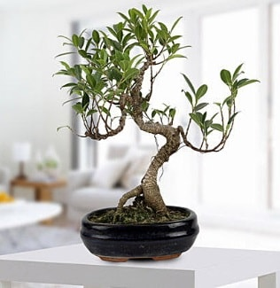 Gorgeous Ficus S shaped japon bonsai  Ardahan yurtiçi ve yurtdışı çiçek siparişi