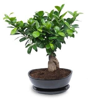 Ginseng bonsai ağacı özel ithal ürün  Ardahan internetten çiçek satışı