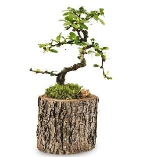 Doğal kütükte S bonsai ağacı  Ardahan çiçek satışı