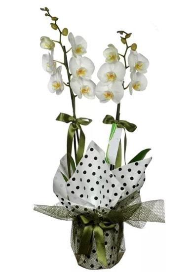 Çift Dallı Beyaz Orkide  Ardahan 14 şubat sevgililer günü çiçek