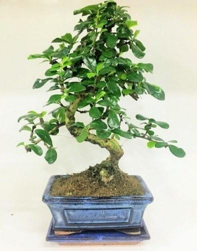 S Bonsai japon ağacı bitkisi  Ardahan uluslararası çiçek gönderme