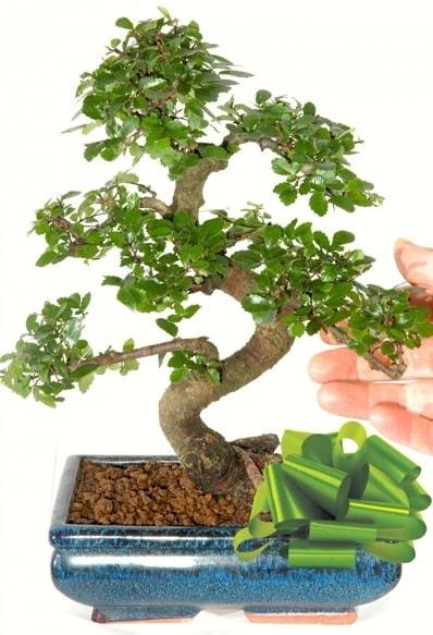 Yaklaşık 25 cm boyutlarında S bonsai  Ardahan çiçek siparişi sitesi