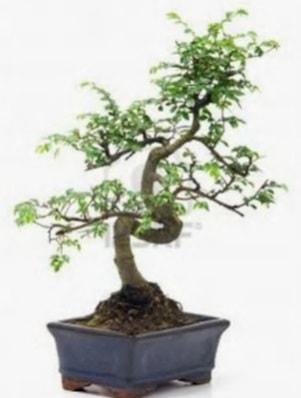 S gövde bonsai minyatür ağaç japon ağacı  Ardahan çiçek satışı