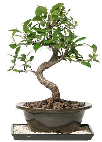 Altın kalite Ficus S bonsai  Ardahan çiçekçi telefonları  Süper Kalite