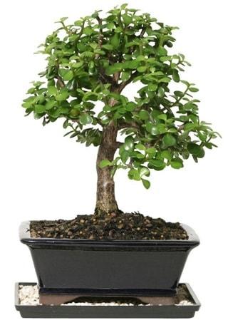 15 cm civarı Zerkova bonsai bitkisi  Ardahan çiçek siparişi sitesi