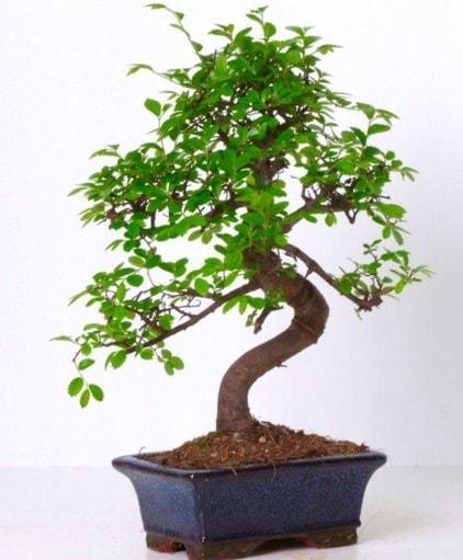 S gövdeli bonsai minyatür ağaç japon ağacı  Ardahan çiçek gönderme sitemiz güvenlidir