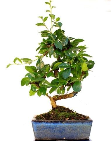 S gövdeli carmina bonsai ağacı  Ardahan çiçek yolla  Minyatür ağaç