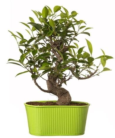 Ficus S gövdeli muhteşem bonsai  Ardahan çiçek siparişi sitesi