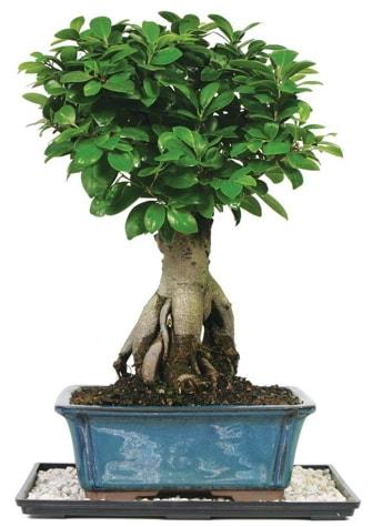 Bonsai Ginsing Grafted Ficus Bonsai  Ardahan çiçek yolla
