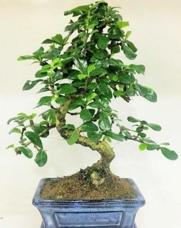 Zelkova S gövdeli Minyatür ağaç Bonzai  Ardahan çiçek gönderme