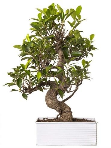 Exotic Green S Gövde 6 Year Ficus Bonsai  Ardahan çiçek gönderme sitemiz güvenlidir