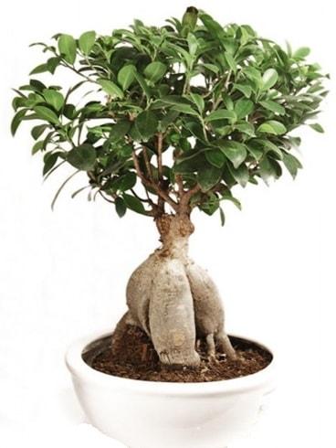 Ginseng bonsai japon ağacı ficus ginseng  Ardahan İnternetten çiçek siparişi