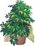 Ardahan internetten çiçek siparişi  Schefflera gold